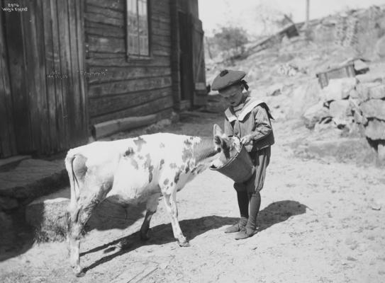 Wilse: Kalven mates 10/7 1904